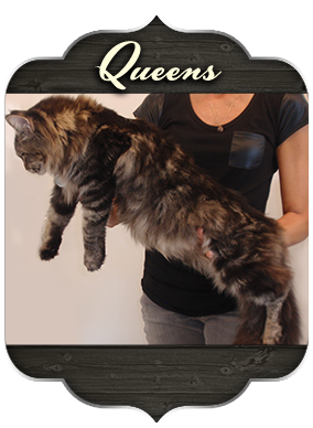 Colossal Cats - Maine Coon Kittens for Sale