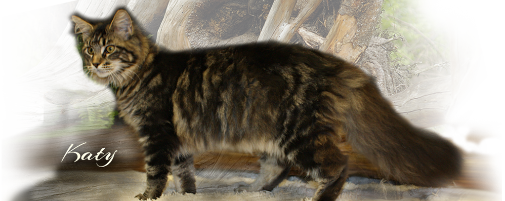 Maine Coon Cats for Sale - from Colossal Cats - Tampa